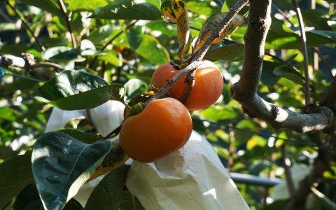 【預購 蘿拉的大雪山甜柿12粒裝(7A)】口感脆甜多汁 超人氣秋柿!