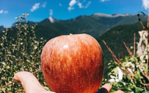 【甜蜜預購!台中梨山 套袋蜜蘋果8斤裝(中果)】濃郁蘋果香 口感風味讓人讚不絕口