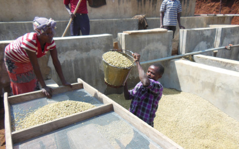 【耶加雪菲 嚴選水洗咖啡豆 200g】高海拔衣索比亞豆的代表 水洗豆最高等級!